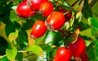 Шиповник при кашле и простуде: полезные свойства и рецепты приготовления