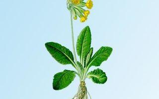 Первоцвет лекарственный: применение, рецепты, аптечные препараты