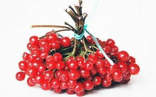 Калина при кашле — рецепты для детей и взрослых