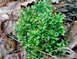 Исландский мох при кашле: лечебные свойства и рецепты приготовления