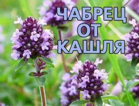 Чабрец — лечебная трава от кашля