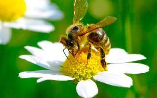 Прополис от кашля – природный лекарь