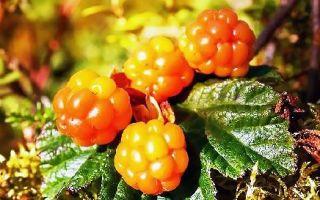 Морошка при кашле — полезные свойства, рецепты, противопоказания
