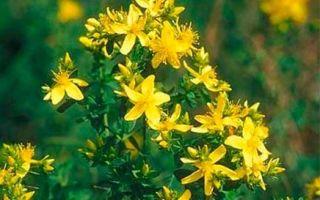 Трава зверобой при кашле: лечебные свойства и рецепты приготовления